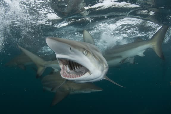 A blacktip shark gapes and displays 15 rows of teeth designed to aid its predation on schools of small fish.