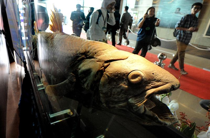 Coelacanth fossils have been dated to about 400 million years ago, and the fish was thought to have died out towards the end of the Mesozoic era (AFP Photo/Romeo Gacad)