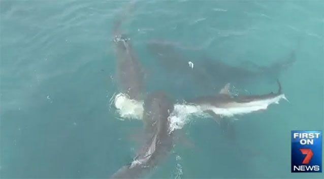 The shark feeding frenzy off Carnarvon. Source: 7News
