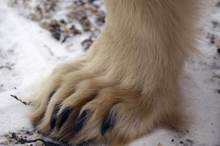 POLAR BEAR PAW. CLOSE-UP. CHURCHILL. MANITOBA, CANADA