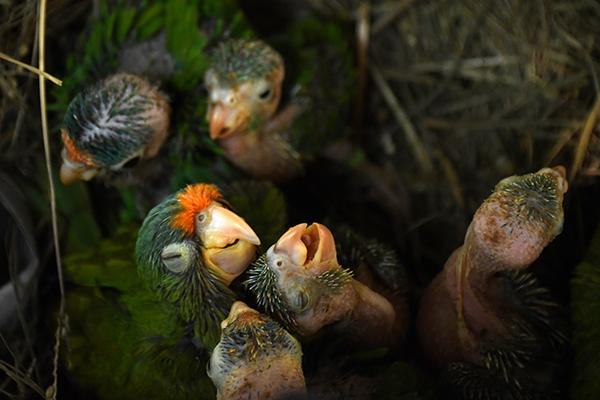 """An orange parrot (Eupsittula canicularis) (L) and catalnica (Brotogeris jugularis) chicks are pictured at """"El Tronador"""" Wildlife Rescue Center in Berlin, 107 kilometers southwest of San Salvador on February 20, 2017. Undangered species victims of trafficking, are rescued and rehabilitated at a shelter supported by a Salvadorean geothermic energy company, with the aim of releasing them into the wild and contribute to the conservation of native species."""