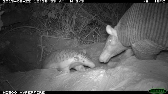 Giant Armadillos Create Homes for Other Animals