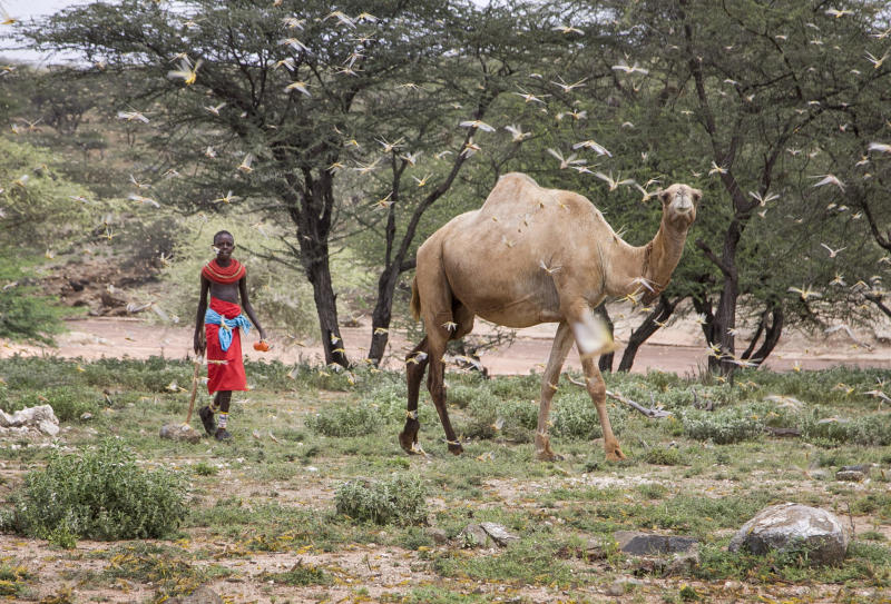 In this photo taken Thursday, Jan. 16, 2020, a Samburu boy walks behind his camel as a swarm of desert locusts fills the air, near the village of Sissia, in Samburu county, Kenya. The most serious outbreak of desert locusts in 25 years is spreading across East Africa and posing an unprecedented threat to food security in some of the world's most vulnerable countries, authorities say, with unusual climate conditions partly to blame. (AP Photo/Patrick Ngugi)