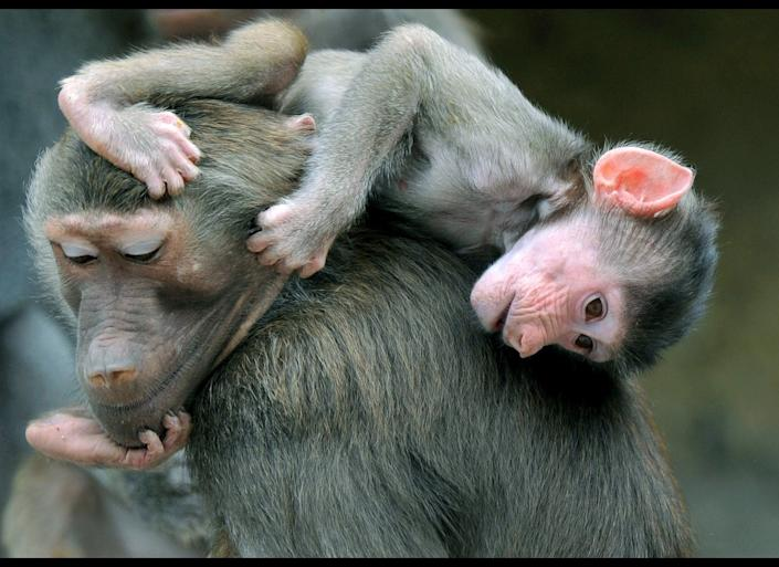 A baby baboon plays with an adult one at the Hellabrunn zoo in Munich, southern Germany on June 15, 2011. Baboons are native to Africa and and live in hierarchical groups.