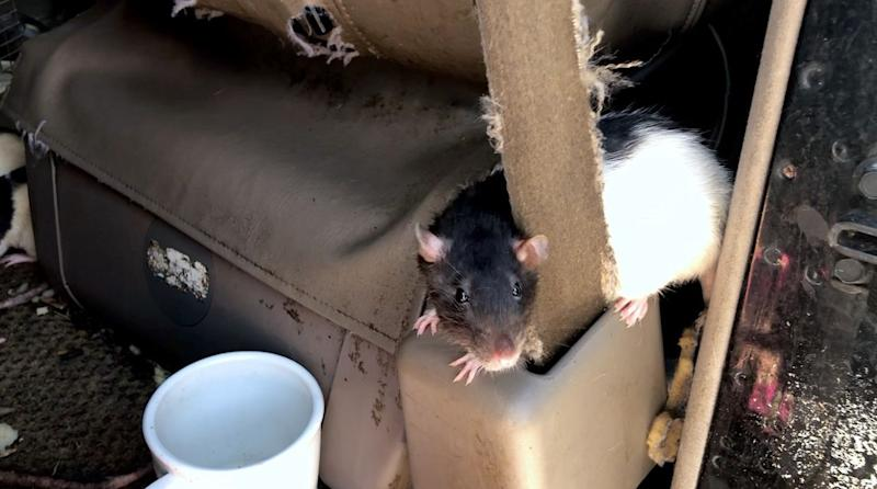 One of the rats later removed from the van. (Photo: San Diego Humane Society)