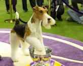<p>A title fit for...King! And that's exactly who won the 2019 Best in Show title. The Wire Fox Terrier is shown here basking in the glory of his newfound fame. </p>