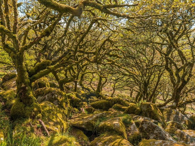 Wistman's Wood in Dartmoor is all that remains of an ancient forest which covered the area until mesolithic hunter-gatherers cleared woods in the area about 7,000 years ago (Getty)