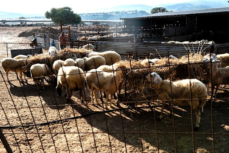 Sheep and other livestock are kept by Cypriot farmers on the British Sovereign Base Area of Akrotiri, where the rules of the EU's Customs Union currently apply (AFP Photo/Iakovos Hatzistavrou)