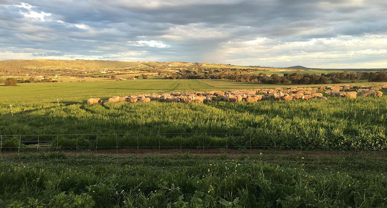 The sheep escaped from the farm in Port Lincoln. Source: Mark Modra