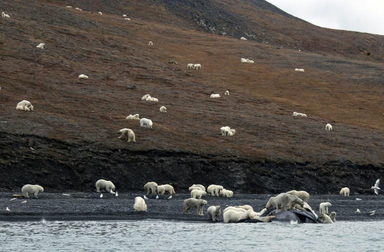 """Studies show that polar bears now spend longer on Wrangel Island, in the far eastern Russian Arctic, than 20 years ago because """"ice is melting earlier and the ice-free period is longer,"""" said American scientist Eric Regehr, of the University of Washington"""