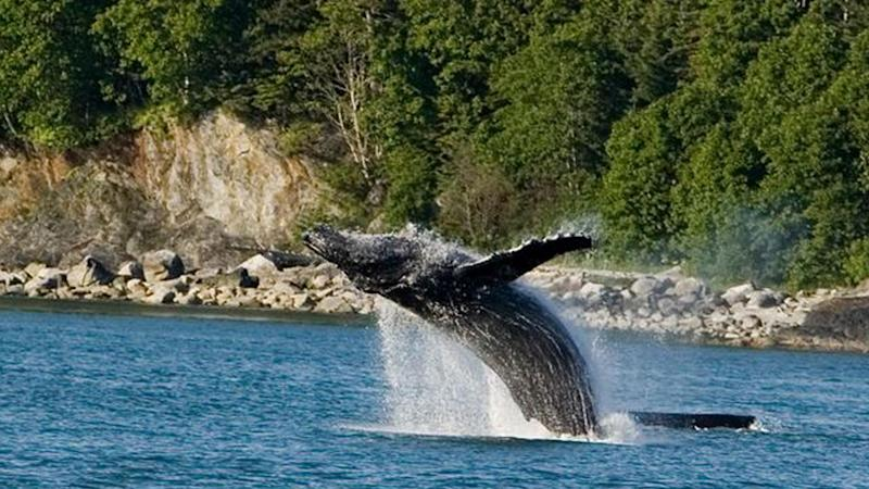Seattle Woman Freaks Out, Calls 911 After Humpback Whales Swim Under Boat