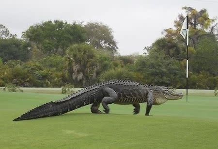 An American alligator estimated to be 12-13 feet long walks onto the edge of the putting green on the seventh hole of Myakka Pines Golf Club in Englewood, Florida in this handout photo courtesy of Bill Susie. Golfers at a course in Florida on Wednesday were careful to putt around a large alligator, days after the beast was photographed lounging on the edge of the green in an image that went viral on Facebook. REUTERS/Bill Susie/Handout via Reuters