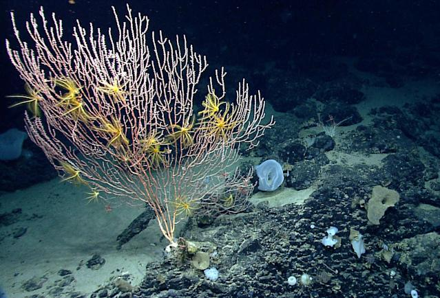 <p>On Mytilus Seamount, a bamboo coral is attached to the black basalt rock formed by a now-extinct undersea volcano. The yellow animals on the coral are crinoids, or sea lilies, in the same major group of animals as sea stars. The summit of Mytilus Seamount is 8,800 feet below the surface of the ocean. (Photo: NOAA Okeanos Explorer Program, 2013 Northeast U.S. Canyons Expedition Science Team) </p>