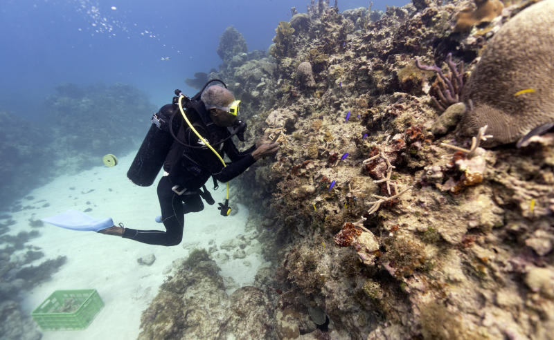 """Diver Everton Simpson plants staghorn coral harvested from a coral nursery inside the the White River Fish Sanctuary Tuesday, Feb. 12, 2019, in Ocho Rios, Jamaica. The energetic 68-year-old has reinvented himself several times, but always made a living from the ocean. Once a spear fisherman and later a scuba-diving instructor, Simpson started working as a """"coral gardener"""" two years ago, part of grassroots efforts to bring Jamaica's coral reefs back from the brink. (AP Photo/David J. Phillip)"""