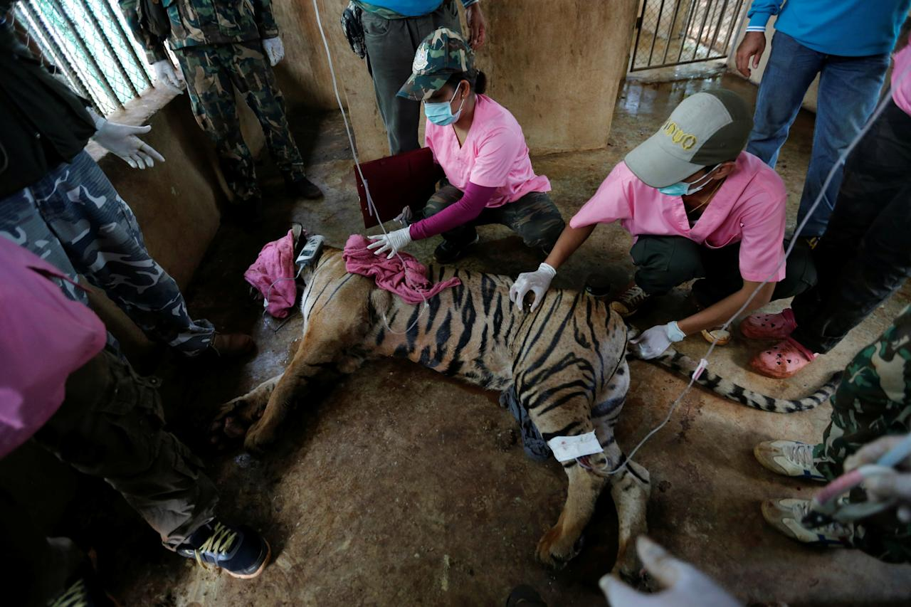 A sedated tiger is seen in an enclosure as officials continue moving live tigers from the controversial Tiger Temple, in Kanchanaburi province, west of Bangkok, Thailand, June 3, 2016. REUTERS/Chaiwat Subprasom     TPX IMAGES OF THE DAY