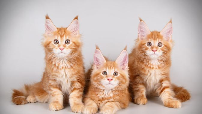 Kucing Maine Coon. (Credit: Shutterstock)