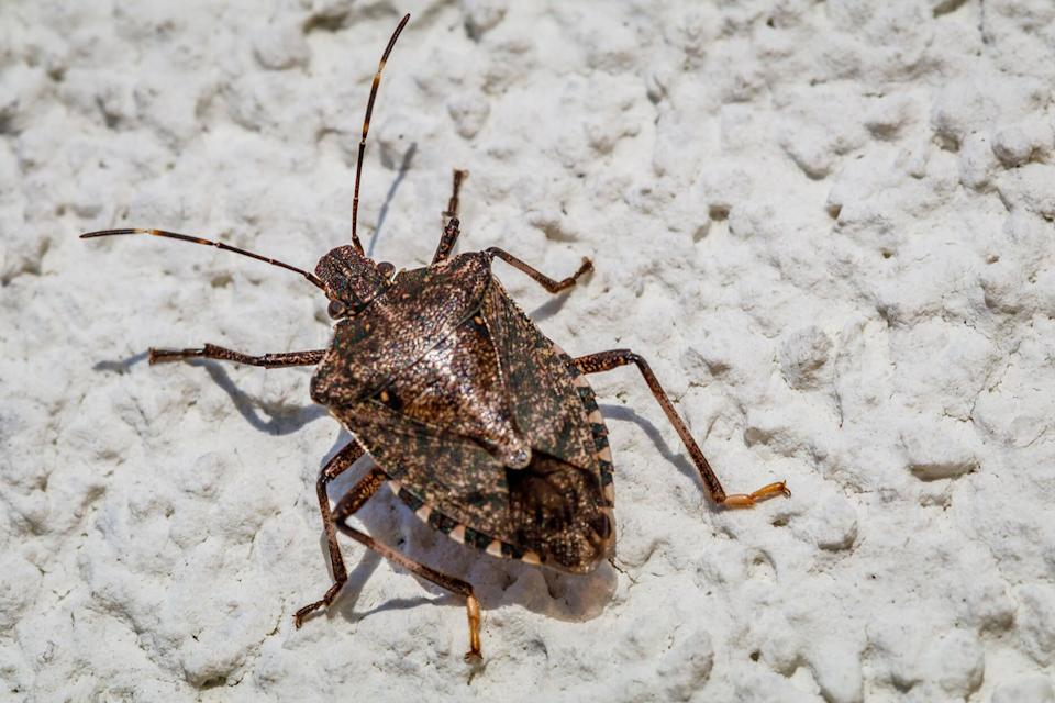 How to Get Rid of Stink Bugs That Seem to Keep Coming Back