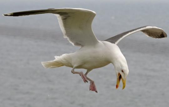 Seagull Poisoned Following Spate Of Attacks