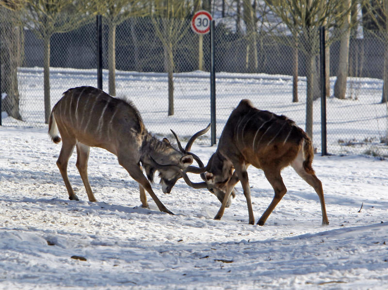 Two greater kudus fight in the snow-covered Zoological Park of Thoiry, west of Paris, Friday Feb. 10, 2012. After an amazing period of mildness, Europe is currently experiencing a massive cold wave which includes France.(AP Photo/Remy de la Mauviniere)