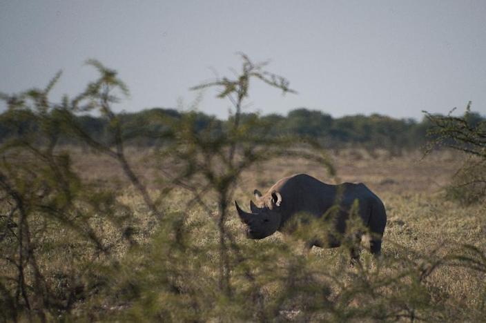 Critically Endangered because of rising demand for its horns, a black rhino is shown on May 8, 2015 at Halali in Etosha park, Namibia (AFP Photo/Martin Bureau)