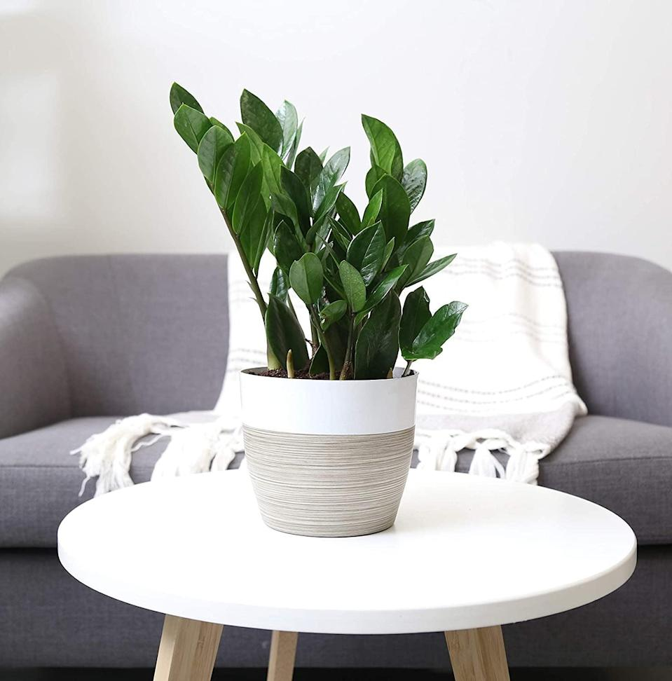 <p>Add a dash of green to any space with this photo-worthy <span>Costa Farms ZZ Zamioculcas Zamiifolia</span> ($29).</p>