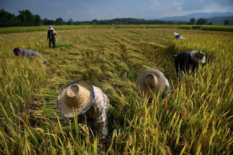 Farmers harvesting rice in the village of Mae Rim in the northern Thai province of Chiang Mai