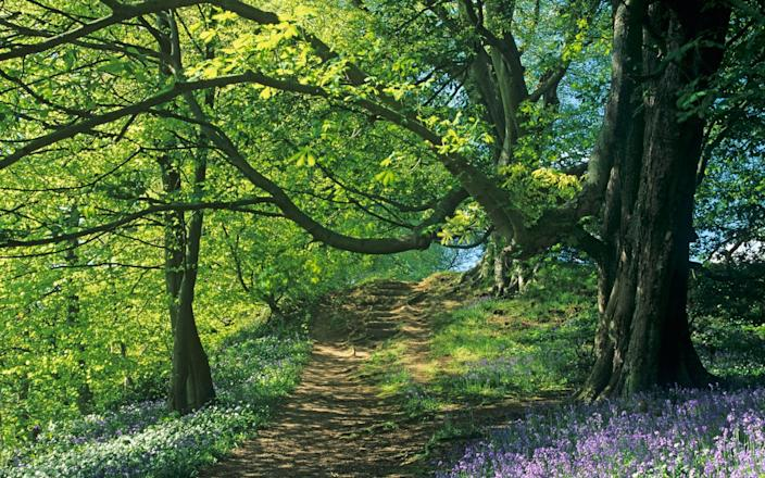 Bluebell forests are an enchanting location to take children - and best of all, they're free! - Roger Coulam