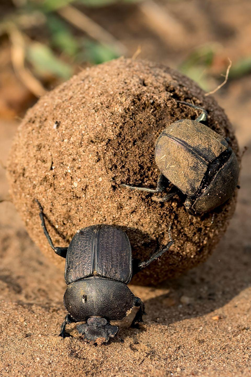 <p>The dung beetle has been deemed the strongest insect on Earth. They're able to push balls of fresh animal poop (hence their namesake) that weigh more than 200 times their body weight. Researchers documented one individual dung beetle that was pushing a ball that was 1,141 times his body weight, the equivalent of a 150-pound person moving a whopping 80 tons.</p>