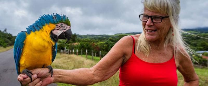 Sabalito, Costa Rica - September 24 : Expat walking her blue gold macaw down the road. September 24 2017, Sabalito Costa Rica.