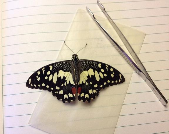 This specimen of the lime swallowtail, an invasive species that is a threat to citrus plants, was collected at the Guantanamo Bay Naval Station in January 2012.