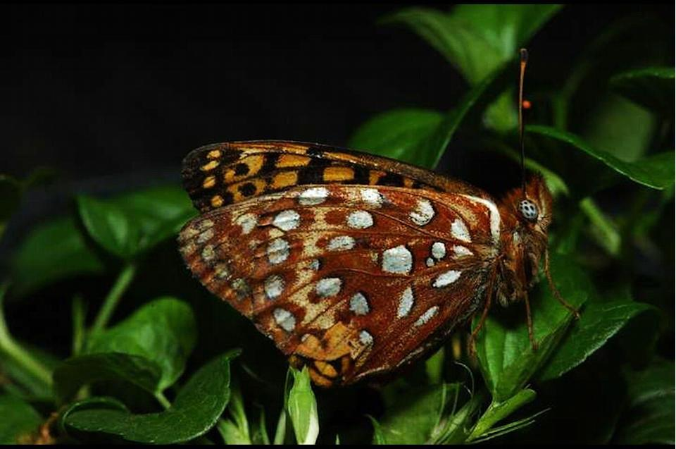 <p><strong>Taylor's Checkerspot Butterfly - </strong>Urbanization has reduced its habitat by 99%. Reintroduction efforts have been successful, but the butterfly is still on the endangered list. </p>