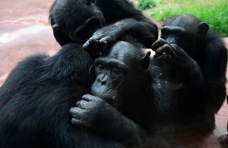 Male friends groom one another, hunt and share meat together, collectively patrol the boundaries of their territories, and form alliances to attain and keep high rank in their groups, which in turn leads to more individual reproductive success