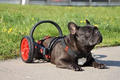 The unique wheelchairs for handicapped dogs AnyoneGo are 3D printed for each individual dog, approved by experts, have an ergonomic padded saddle and folding wheels. The carts are stable, durable, adjustable and easy to use. The wheelchairs are available in 4 main sizes from Chihuahua to Border Collie, 2 lines and 5 colours. Made in the Czech Republic.