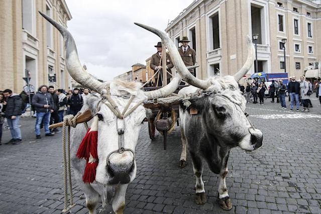 <p>Maremma cattle are led through St. Peter's Square during the blessing of the animals for the feast of Sant'Antonio Abate, patron saint of animals, in Rome, Italy on Jan 17, 2018. (Photo: Fabio Frustaci/Eidon Press via ZUMA Press) </p>