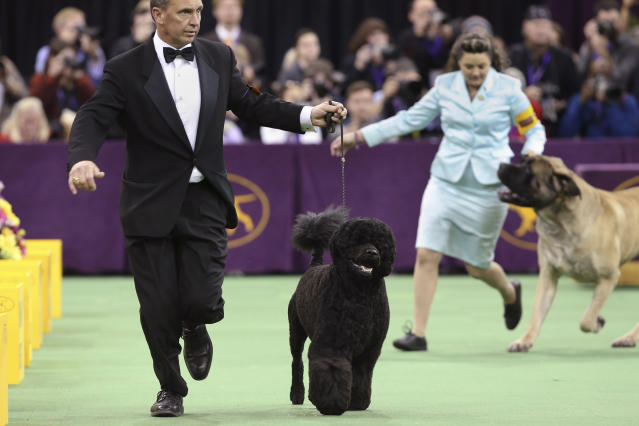 Matisse, a Portuguese water dog, competes in the working group during the Westminster Kennel Club dog show, Tuesday, Feb. 11, 2014, in New York. Matisse won the group. (AP Photo/John Minchillo)
