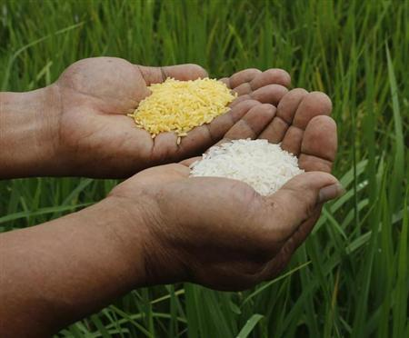 "A scientist shows ""Golden Rice"" and ordinary rice at the laboratory of the International Rice Research Institute in Los Banos"