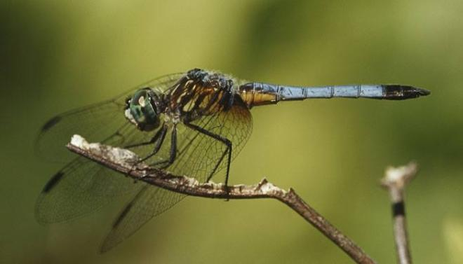 dragonfly, Female Common Hawker, death,