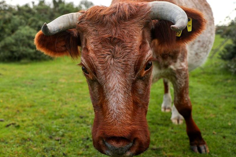 Cattle roaming in the New Forest as livestock owners in the area have been asked to de-horn their animals to help prevent injuries to members of the public following a rise in injuries to walkers in the last year: PA