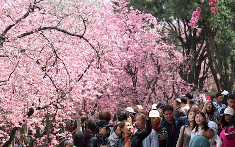 People walk under cherry blossoms in Kunming, Yunnan province, China March 7, 2018. - Credit: CHINA STRINGER NETWORK/Reuters