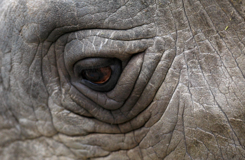 A close-up view of northern white rhino Sudan at a zoo in the Czech Republic in 2009.