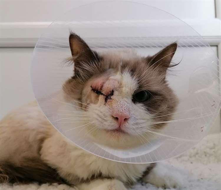 Artex the cat was abandoned in Chatham, Kent (Picture: Cats Protection)