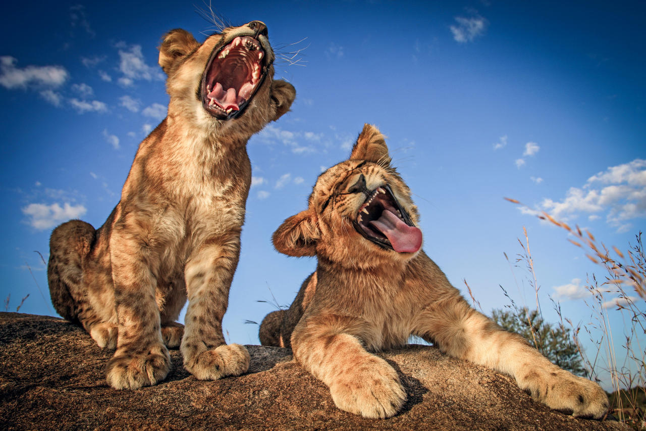 <p>Two lion cubs sing their hearts out at Antelope Park in Zimbabwe. (Photo: David Jenkins/Caters News) </p>