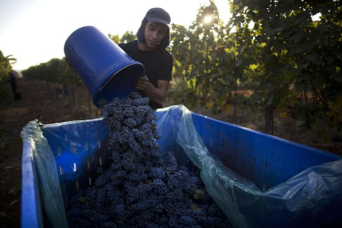 An Israeli Arab farmer harvests cabernet sauvignon grapes for the Bazelet Hagolan Winery at Kidmat Tzvi in the Israeli-annexed Golan Heights on September 20, 2012 (AFP Photo/Menahem Kahana)