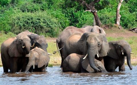 Elephants cool off in Botswana's Chobe national park, part of the vast KOZA eco-system that includes southeast Angola - Credit: Charmaine Noronha/AP