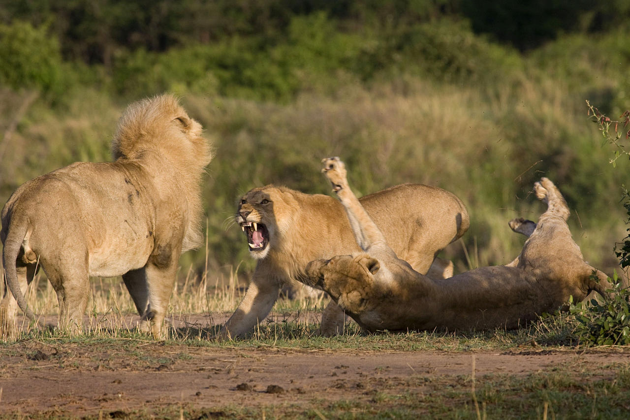 MANDATORY BYLINE - PIC BY ANDREW ATKINSON / FOTOLIBRA / CATERS NEWS - (Pictured the lion and lioness fighting) - These are the rip-roaring scenes of a mass battle between a pride of lions which were snapped by a brave photographer from just TWENTY metres away. The spontaneous brawl in the Serengeti National Park, Tanzania was caught by amateur photographer Andrew Atkinson who captured the early morning combat between the young cats just as the sun came up. The safari truck he was on pulled up as the dominant male strode over to kick-start the turf wars between the big cats who can tip the scales at anywhere up to the 180kg mark. SEE CATERS COPY.