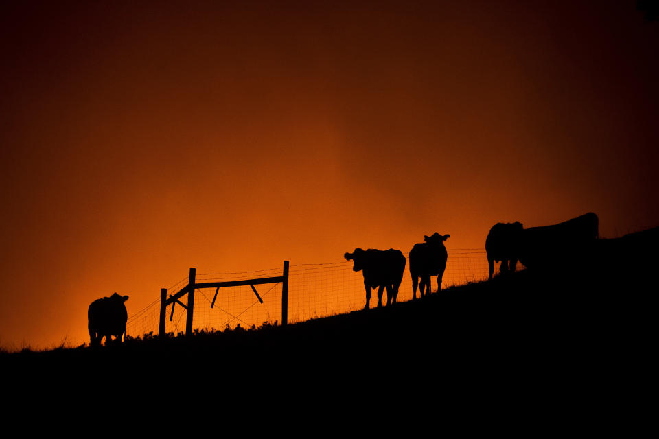 Cows stand on a ridge as the Kincade Fire approaches in unincorporated Sonoma County, Calif., on Thursday, Oct. 24, 2019. (Photo: Noah Berger/AP)