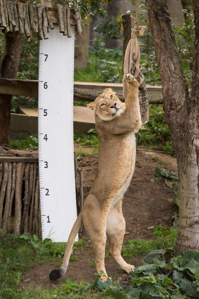<p>This lioness is only too keen to show off her impressive height (Picture: ZSL London Zoo) </p>