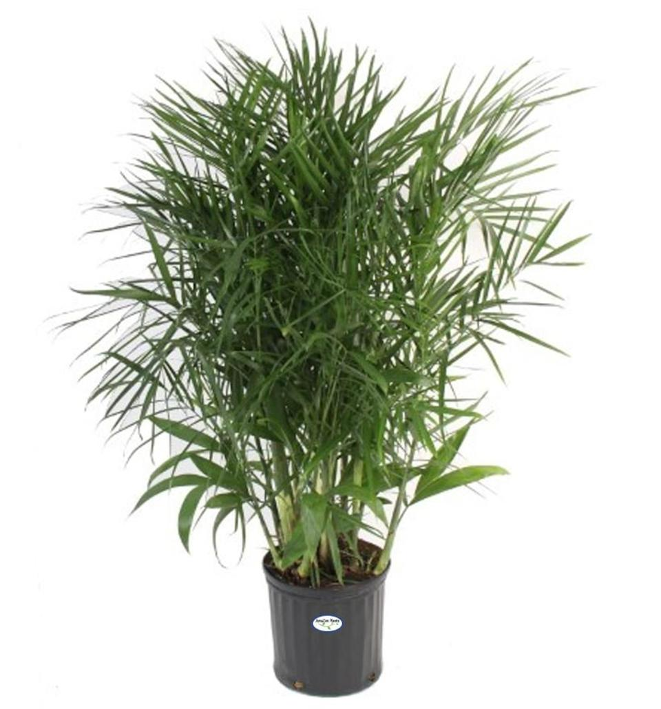 Bamboo Palm Live Plant in an 10 Inch Grower Pot (Photo: Etsy)