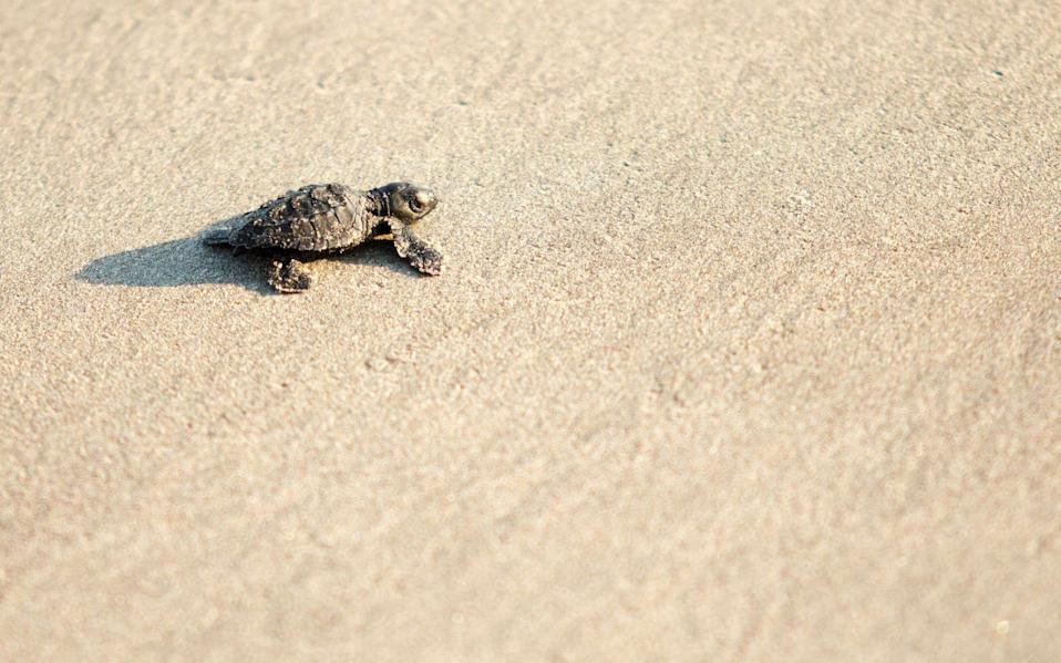 Numbers of olive ridley turtles have dwindled in recent years