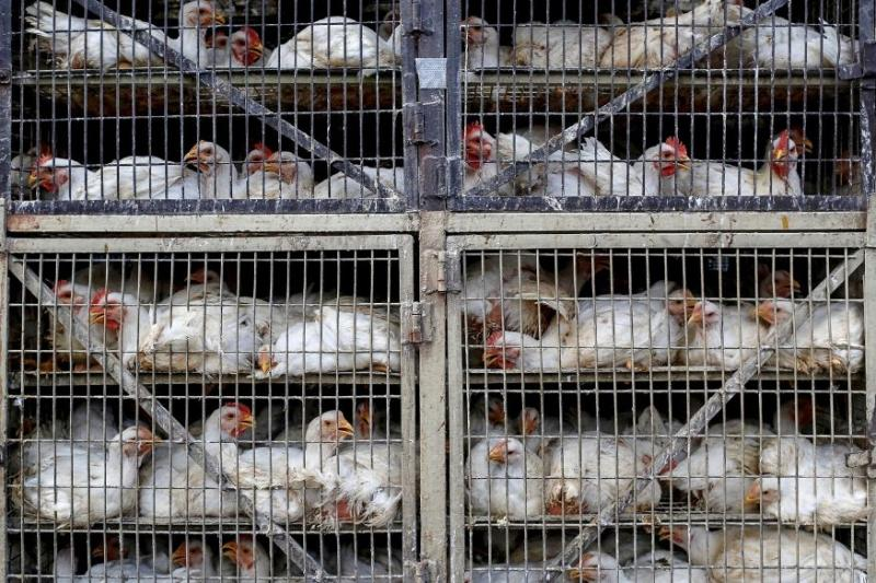 Poultry Industry Suffers Major Loss Due to Coronavirus Lockdown